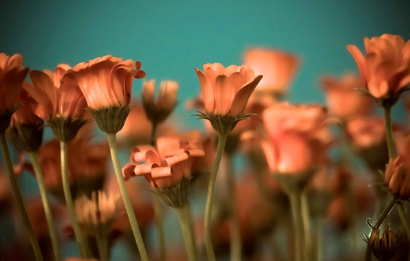 Picture flowers, background, widescreen, Wallpaper, stem, wallpaper, flowers, orange, widescreen, background, full screen, HD wallpapers, widescreen, ...