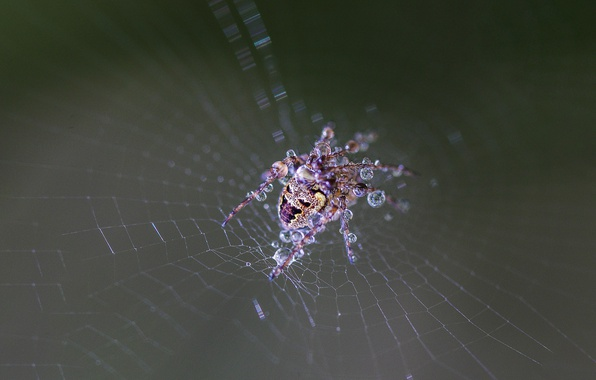 Picture spider, wet, drops, web