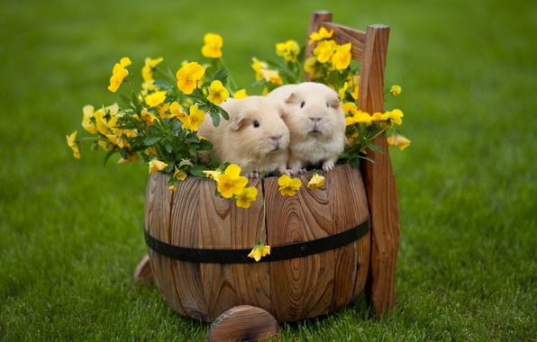 Picture flowers, Pansy, viola, Guinea pigs