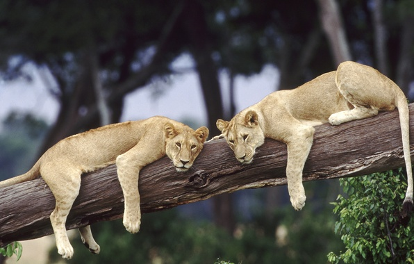 Picture tree, stay, Leo, pair, wild cats, Africa, lions, wildlife, pair