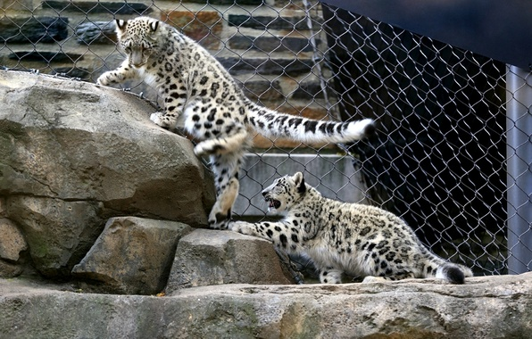 Wallpaper Stones The Game Kittens Snow Leopard Aviary