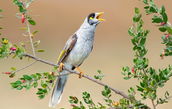 Picture leaves, nature, bird, branch, beak, tail, the black-capped manorina