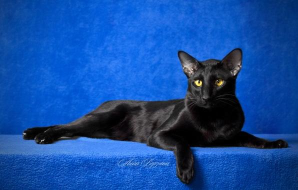 Picture eyes, cat, look, black cat, blue background, Oriental