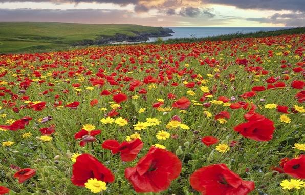 Picture flowers, coast, England, Maki, chamomile, meadow, England, Cornwall, Cornwall