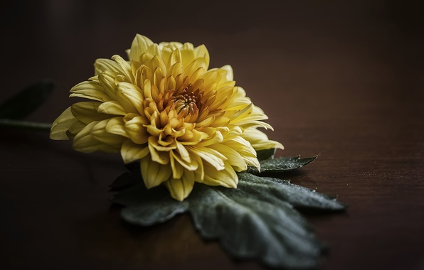 Picture macro, sheet, background, petals, chrysanthemum
