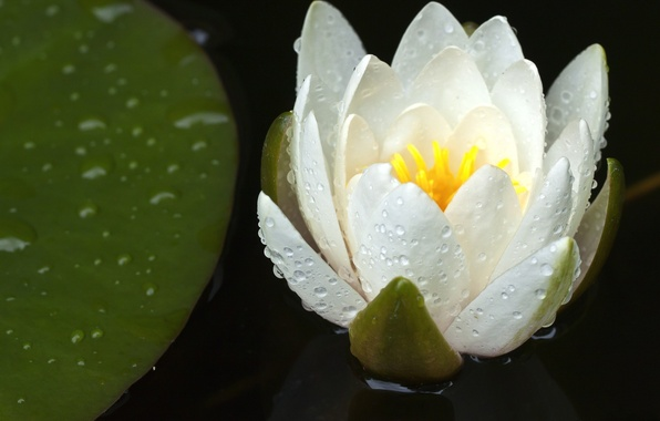 Picture flower, drops, Lily, petals, white, water