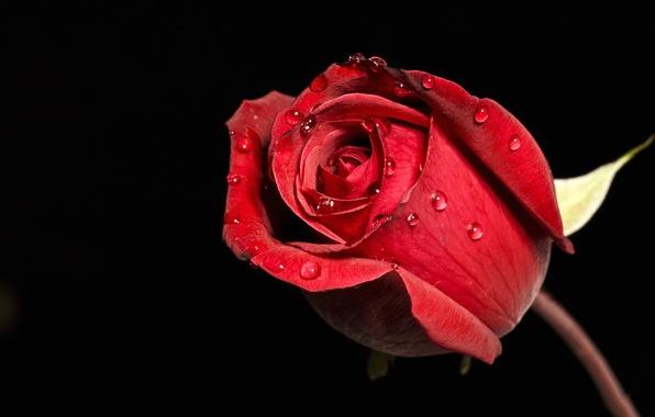 Picture flower, drops, Rosa, rose, petals, Bud