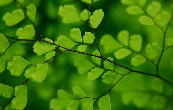 Picture greens, macro, foliage, branch, fern, Venus hair