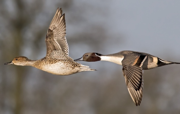 Picture birds, duck, wings, pair, flight, a couple, duck, Drake, Pintail