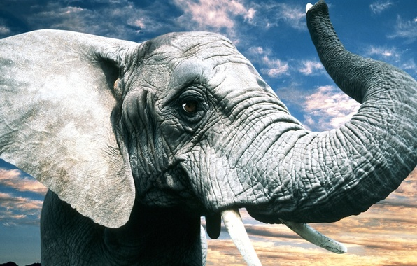 Picture eyes, nature, grey, elephant, ears, trunk