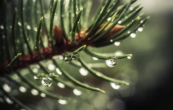 Picture water, macro, green, Rosa, background, tree, Wallpaper, tree, drop, spruce, wallpaper, widescreen, background, full screen, …