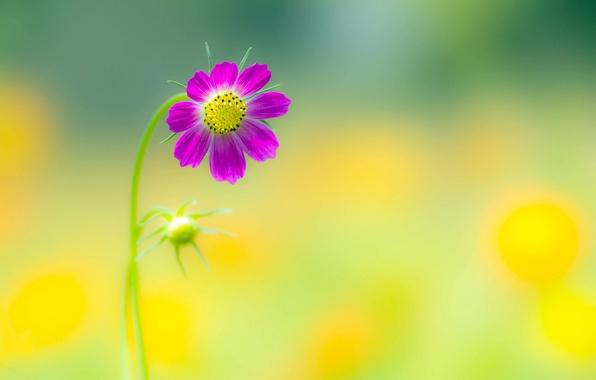 Picture flower, summer, background, petals, flower, kosmeya
