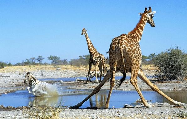 Picture giraffe, Zebra, Savannah, Africa, drink