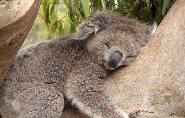 Picture leaves, tree, bamboo, bear, sleeping, Koala