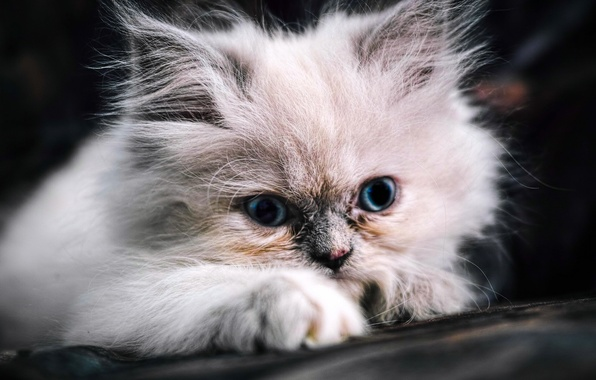Picture fluffy, muzzle, kitty, blue eyes
