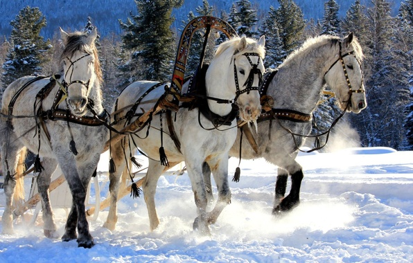Picture FOREST, SNOW, WINTER, NEEDLES, TRIO, HORSE, WHITE, WAGON, TREES, SLEIGH, THREE, TEAM