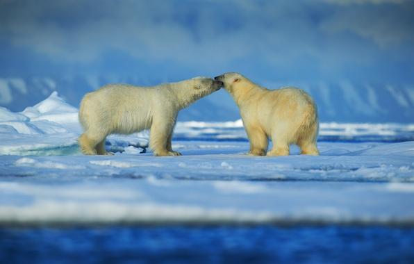 Picture snow, ice, pair, polar bears, Arctic
