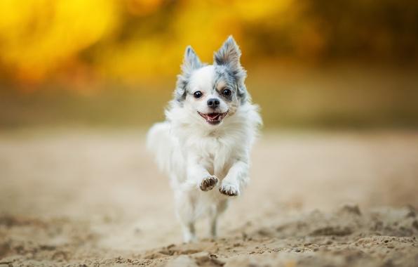 Picture mood, walk, Chihuahua, dog