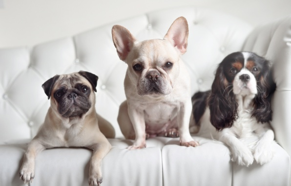 Picture dogs, look, pug, trio, Spaniel, French bulldog, Trinity