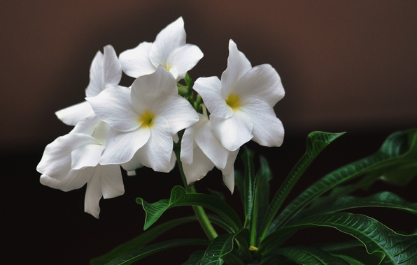 Picture leaves, flowers, background, white, plumeria