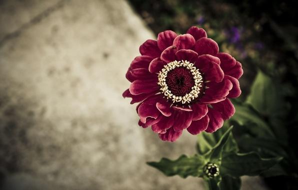 Picture flower, leaves, background, tsiniya