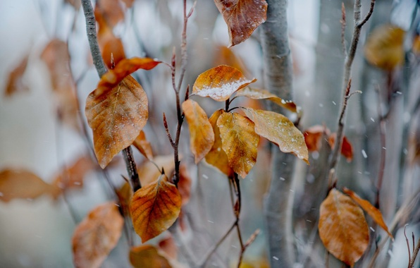 Picture leaves, snow, branches, tree, yellow, autumn