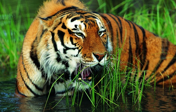Picture grass, face, water, tiger, grin