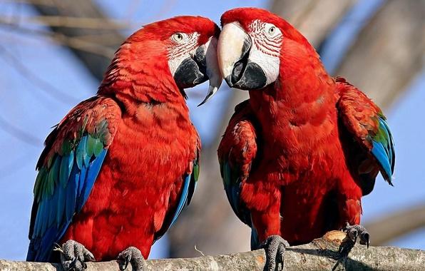 Picture animals, birds, tree, Wallpaper, parrots, Ara