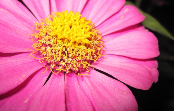 Picture Macro, Yellow, Flower, Pink, Composition