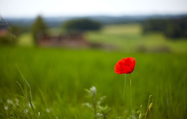 Picture greens, field, grass, flowers, red, background, Wallpaper, Mac, wallpaper, flowers, flower, widescreen, background, full screen, …