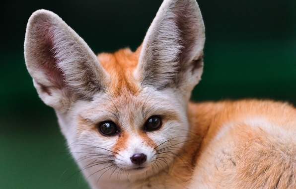 Picture look, muzzle, Fox, Fenech, big ears