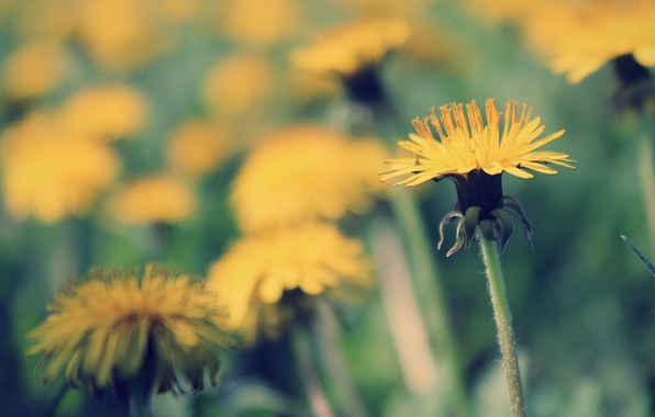Picture grass, the sun, macro, light, yellow, green, heat, dandelion, spring, day