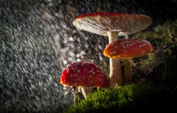 Picture forest, drops, macro, light, nature, rain, mushrooms, Amanita, bokeh