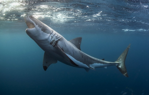 Picture sea, nature, Great white shark