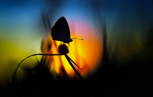 Picture grass, sunset, butterfly, The sun, silhouette