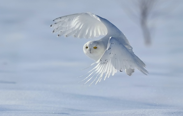 Picture winter, snow, bird, snowy owl, white owl, Nyctea scandiaca, Bubo scandiacus