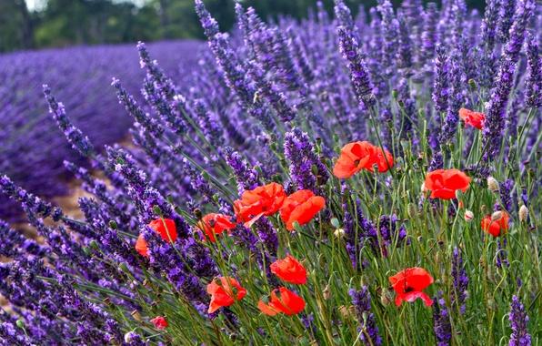 Picture flowers, nature, Maki, lavender, bokeh