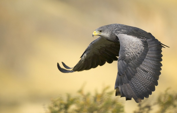 Picture flight, eagle, wings, Argentina, Black-Chested Buzzard Eagle