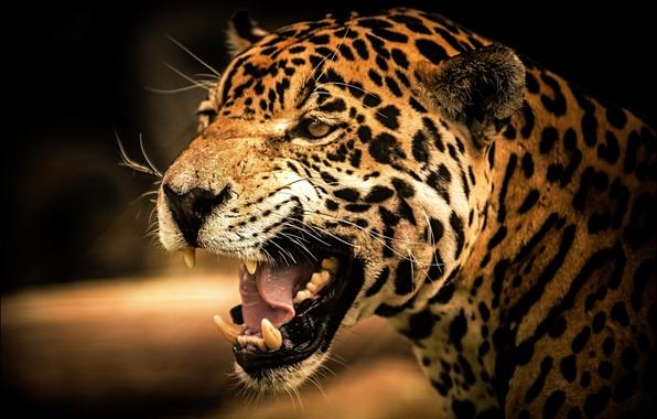 Picture cat, look, Jaguar, predator, Jaguar, cat, wild, view, predator, roar, wild, roar