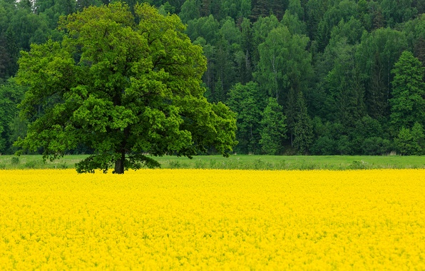 Picture field, forest, trees, flowers, nature, tree, spring, May, oak, rape