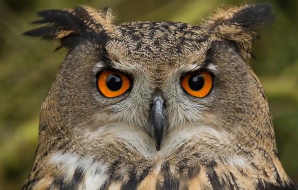 Picture look, owl, portrait, Bird, eagle owl