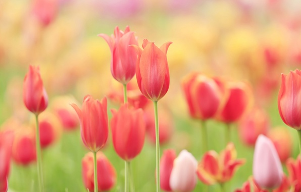 Picture field, nature, petals, meadow, tulips