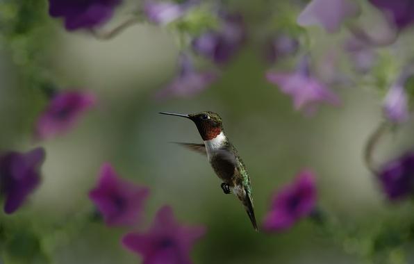 Picture macro, flight, flowers, bird, blur, Hummingbird, bird