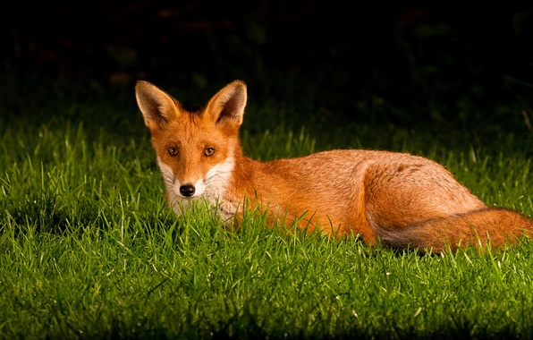 Picture grass, eyes, Fox, tail, ears