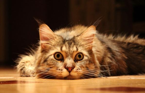 Picture cat, look, floor