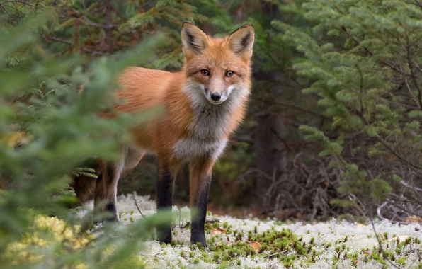 Picture forest, look, Fox, red