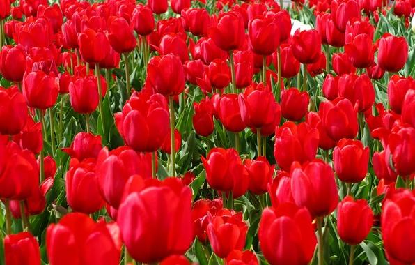 Picture field, spring, petals, garden, meadow, tulips
