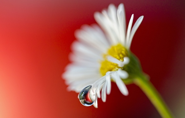 Picture flower, macro, drop, petals, Daisy