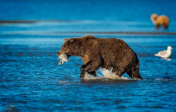 Picture nature, river, fish, bear