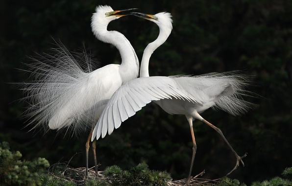 Picture birds, dance, white, herons